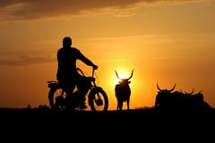 Silhouette of cowherd on motorcycle and heard of cow. On sunset stock image