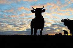 Silhouette of Cows Royalty Free Stock Images