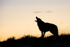 Silhouette of coyote howling at sunrise. Beautiful picture of coyote howling at sunrise Royalty Free Stock Images