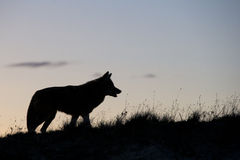 Silhouette of coyote on prairie Stock Photos