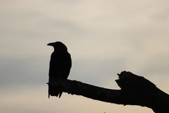 Silhouette of a crow. On a barren branch Royalty Free Stock Photo