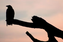 Silhouette of a crow. On a barren branch Stock Photos