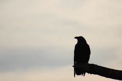 Silhouette of a crow. On a barren branch Royalty Free Stock Photography