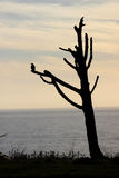 Silhouette of a crow. On a barren branch before the ocean Royalty Free Stock Image