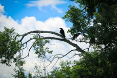 Silhouette of Crow on branch. Silhouette image of crow in tree in park Stock Photos