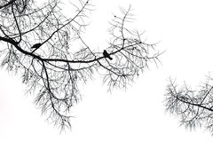 Silhouette of a crow on a coniferous tree. Royalty Free Stock Photography