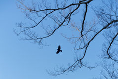 Silhouette of a crow flying against bright sky Royalty Free Stock Photography