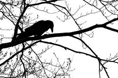 Silhouette of crow Stock Image