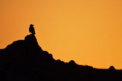 Silhouette. Of a crow sitting on a stone Stock Images