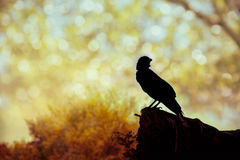 Silhouette of a crow on stone over blurred abstract background. Silhouette of a crow on stone over blurred abstract yellow golden glittering  bokeh lights Royalty Free Stock Photos