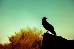 Silhouette of a crow on stone over nature background. Cross proc Stock Photos