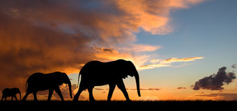 Silhouette d'éléphant au coucher du soleil Photos libres de droits