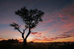 Silhouette d'arbre d'acacia Photo stock