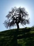 Silhouette d'arbre de chêne Image stock