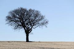 Silhouette d'arbre de chêne en hiver Images stock