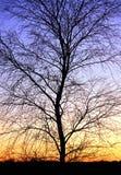 Silhouette d'arbre de l'hiver et un coucher du soleil Photos libres de droits