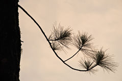 Silhouette d'arbre de pin Image libre de droits