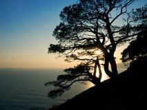 Silhouette d'arbre de pin au coucher du soleil Images libres de droits