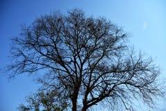Silhouette d'arbre mort Photos libres de droits