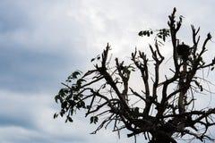 Silhouette d'arbre nu avec le nuage Images libres de droits