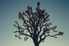 Silhouette d'effet de vintage de Joshua Tree Photos stock