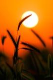 Silhouette d'herbe contre le coucher du soleil Images libres de droits