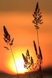 Silhouette d'herbe sauvage Photos stock