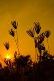 Silhouette d'herbe sur le coucher du soleil. Photos libres de droits