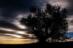 Silhouette d'Olive Tree images libres de droits