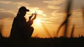 Silhouette d'un agronome étudiant des pousses de blé Se repose dans un domaine au coucher du soleil photos libres de droits