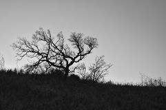 Silhouette d'un arbre d'hiver Photo libre de droits
