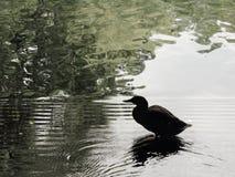 Silhouette d'un canard Photos libres de droits