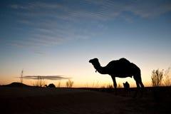 Silhouette d'un chameau au coucher du soleil Photos stock
