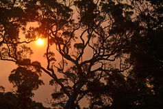 Silhouette d'un gumtree australien au coucher du soleil Photographie stock