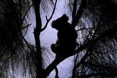 Silhouette d'un koala sauvage Images libres de droits