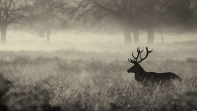 Silhouette d'un mâle de cerfs communs rouges Images stock