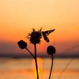 Silhouette d'un papillon se reposant sur une fleur Photo stock