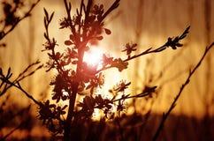 Silhouette d'une branche se développante de pommier avec la fusée Image libre de droits