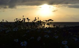 Silhouette of daisy flowers on ocean shore over sunset backgroun. D Stock Images