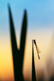 Silhouette damselfly Stock Photo