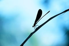 Silhouette of damselfly. Perched on a leaf, with a beautiful blue atmosphere Stock Photo