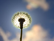 Silhouette of dandelion Stock Photo