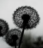 Silhouette of dandelion Stock Photography