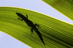 Silhouette of a Day Gecko on a Palm Leaf. Silhouette of a day gecko basking on a textured palm leaf in the early morning sun in Mauritius. (Phelsuma ornata Royalty Free Stock Photo
