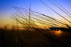 Silhouette de blé au coucher du soleil Image libre de droits