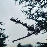 Silhouette de branche de pin images libres de droits