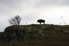 Silhouette de Buffalo Photo libre de droits