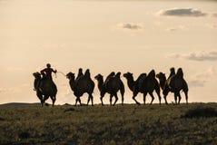 Silhouette de cavalier de chameau étant assortie à d'autres chameaux attachés avec la corde dans le contre-jour Images libres de droits