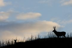 Silhouette de cerfs communs Photo libre de droits