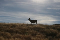 Silhouette de cerfs communs Photographie stock libre de droits